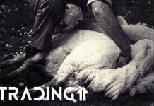 oholena ovce