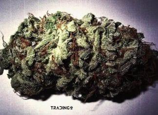 marihuana thc cbs legalize traidng11 analyza