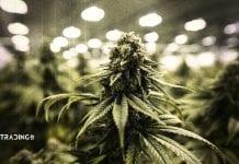 marihuana akcie trading11