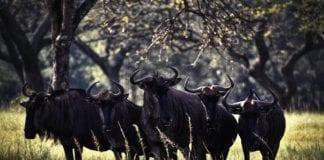 stádo býkov
